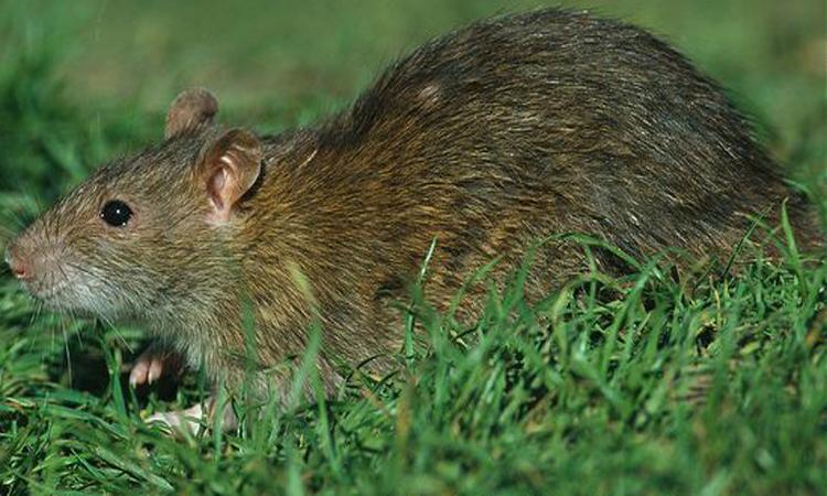 Brown-rat-(1)-new